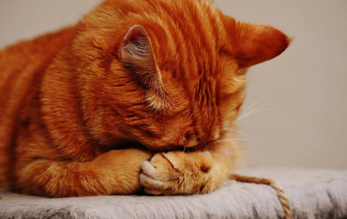 ginger cat with head in its paws